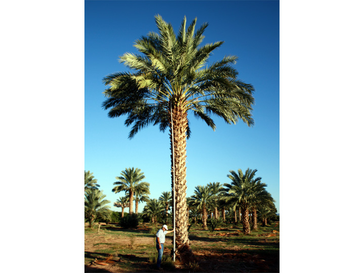 Blue Sky - Medjool Date Palm