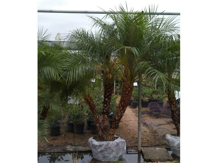 Pygmy Date Palm aka Dwarf Palm or Miniature Date Palm