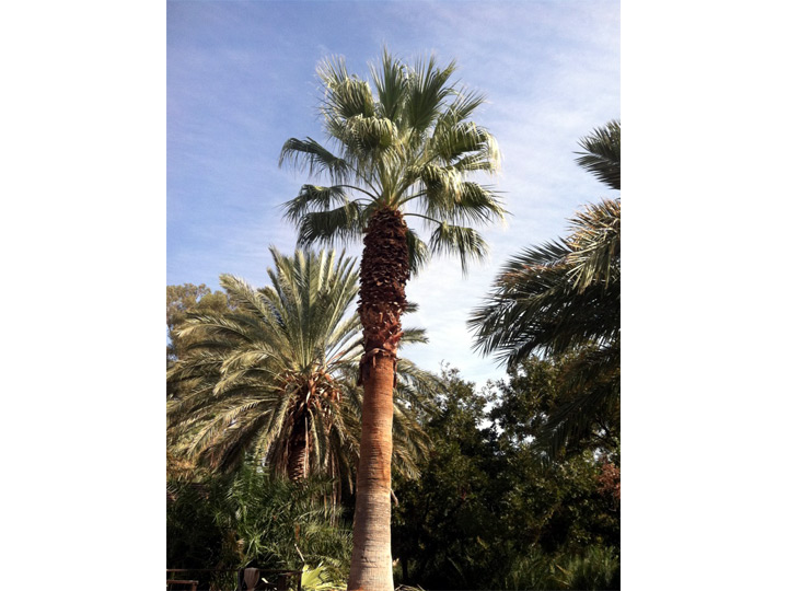 Washingtonia Filifera Fan Palm