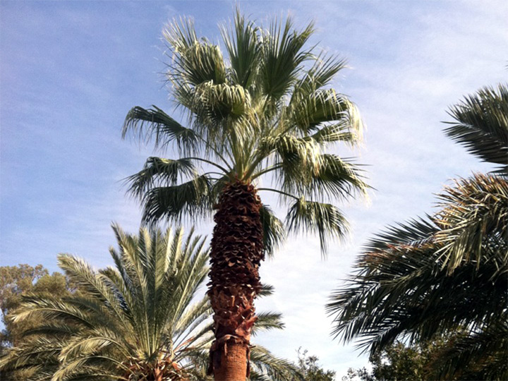 Washingtonia Filifera Fan Palm aka California Fan Palm