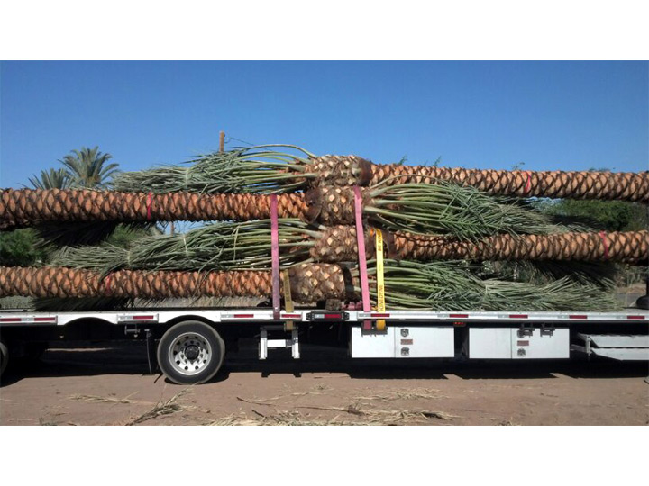 Eastern - Medjool Date Palms on Truck