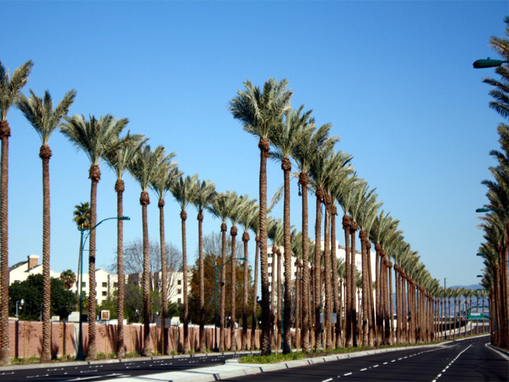 Tall Medjool Date Palms - Gene Autry - Anaheim CA
